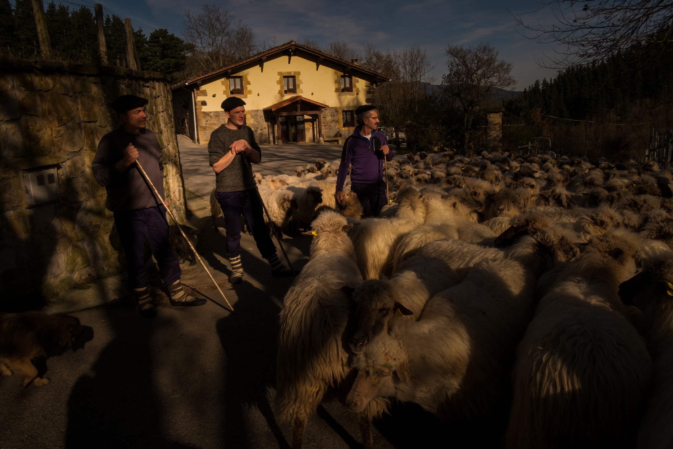After a couple of hours, Aitor, his father and uncle gather the flock of sheep in front of the farm.