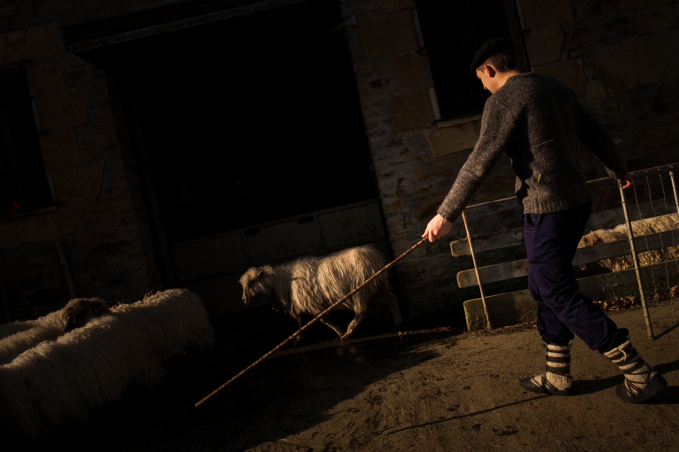 Aitor gathers the flock of sheep in the barn.
