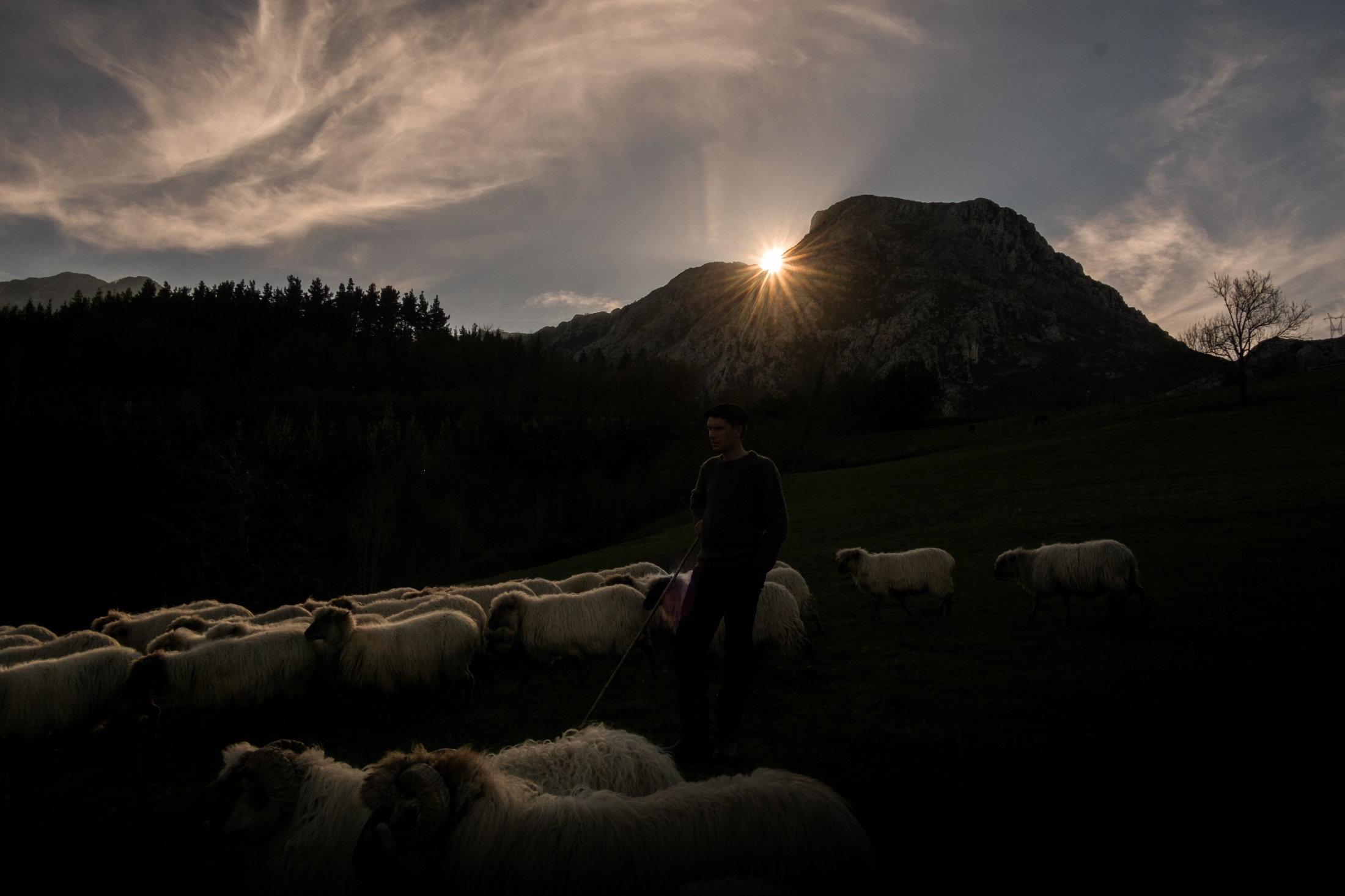 During sunset, he takes the flock of sheep back to the field.