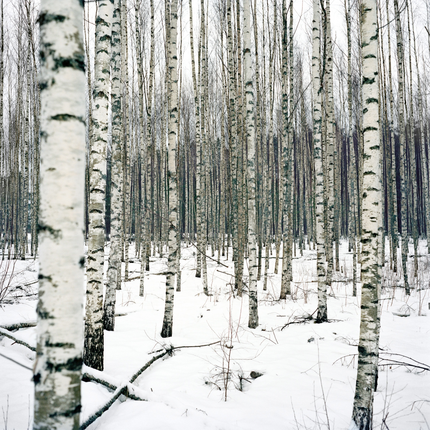 In wintertime when the landscape is covered in white, Setomaa intermingle shades of gray and white until the numerous birch forests. A tree from which a fermented drink called hapöndöt köomahl is extracted every spring.