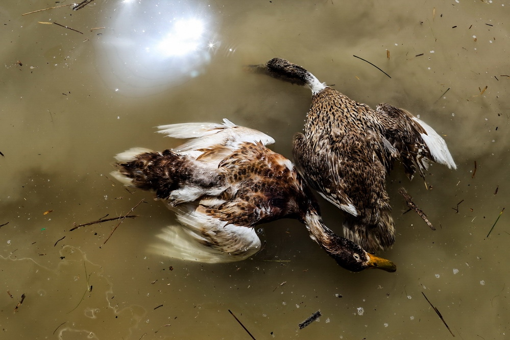 Dead ducks that destroyed because of environmental pollution after the flood. ahvaz