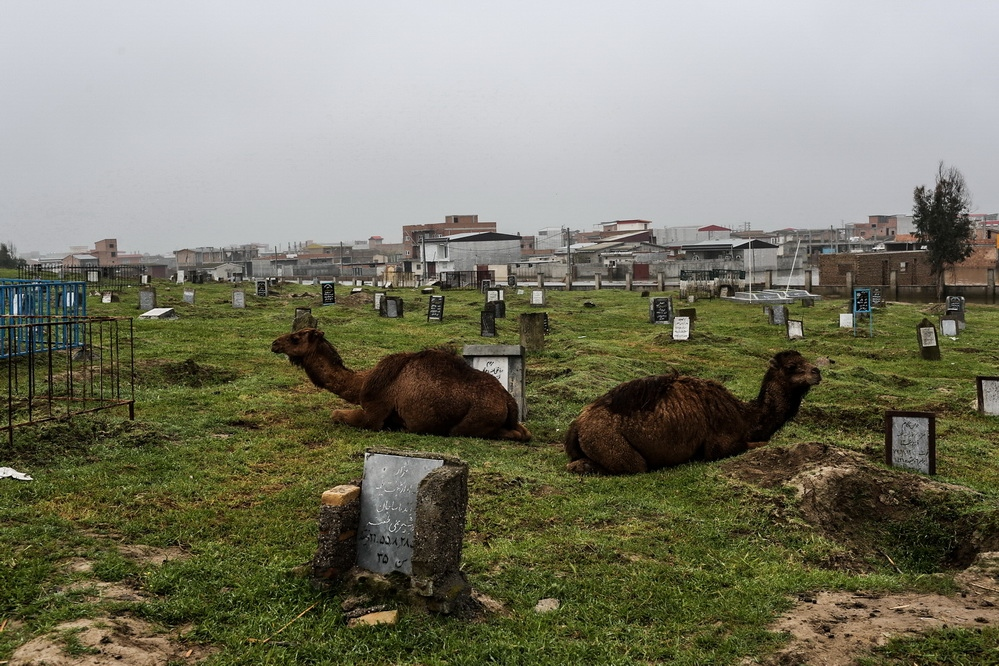 The ranchers moved their livestock to the cemetery to avoid flood damage. The cemetery is the only high point of of Aq Qala city . Gulistan