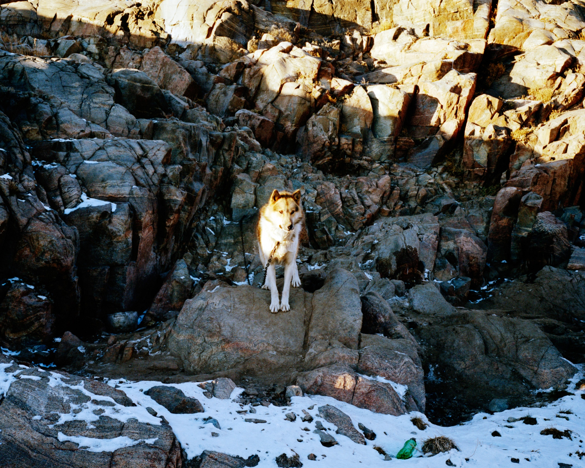Sled dog of Uummannaq a village populated by hunters and fishermen. Dogs stay attached all year long excepted when they pull the sled.