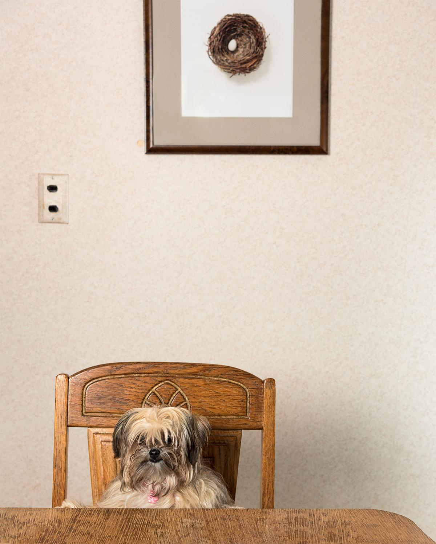 Clarise: Yorkie long-haired Chihuahua AKA: Muppet