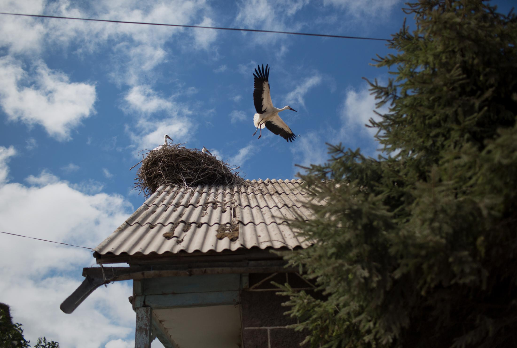 The fourth group that coexists in Gorelovka with everyone else is the storks who make their homes on many of the village's roofs and chimneys.