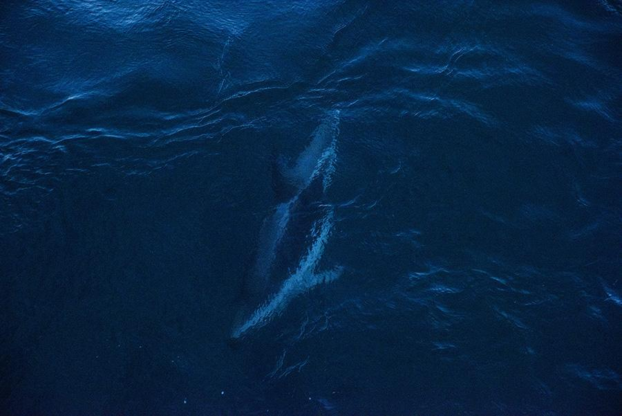 Dusky Dolphin swimming in the south west Atlantic Ocean near Argentinean Patagonia. Argentina.