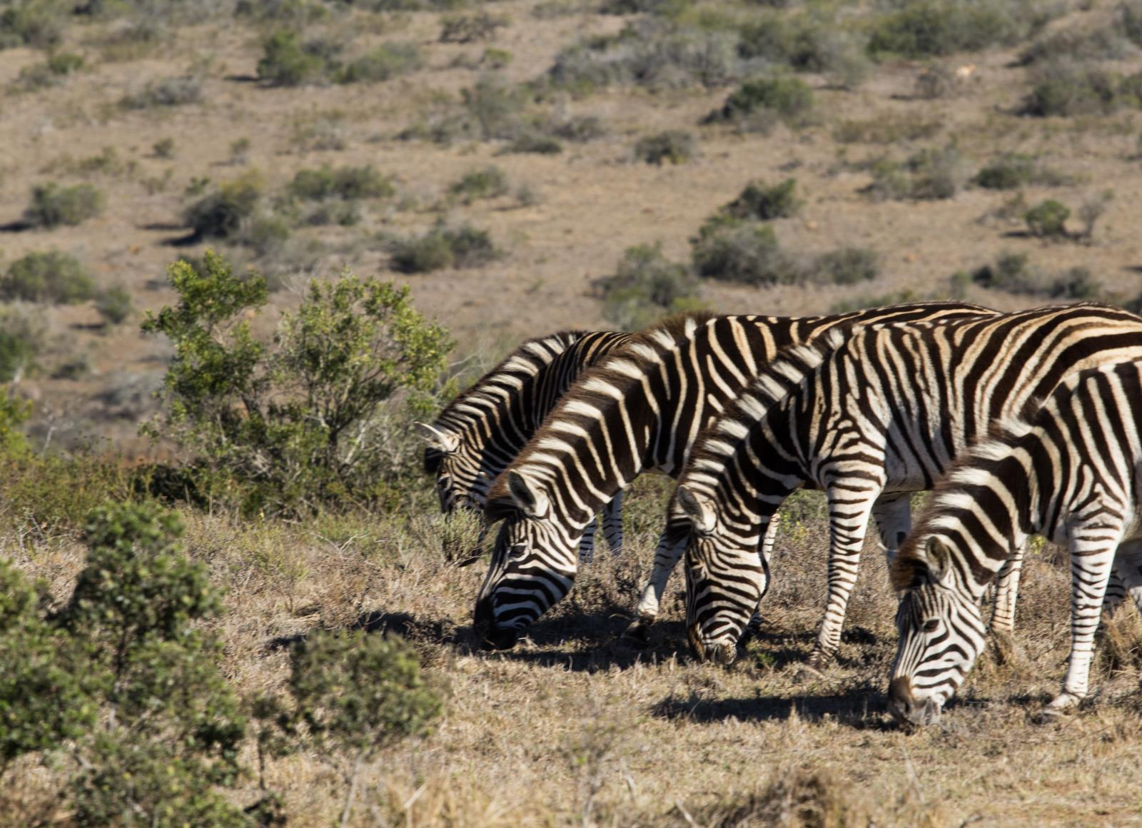 Zebras graze at the Schotia Private Reserves in Port Elizabeth, South Africa.