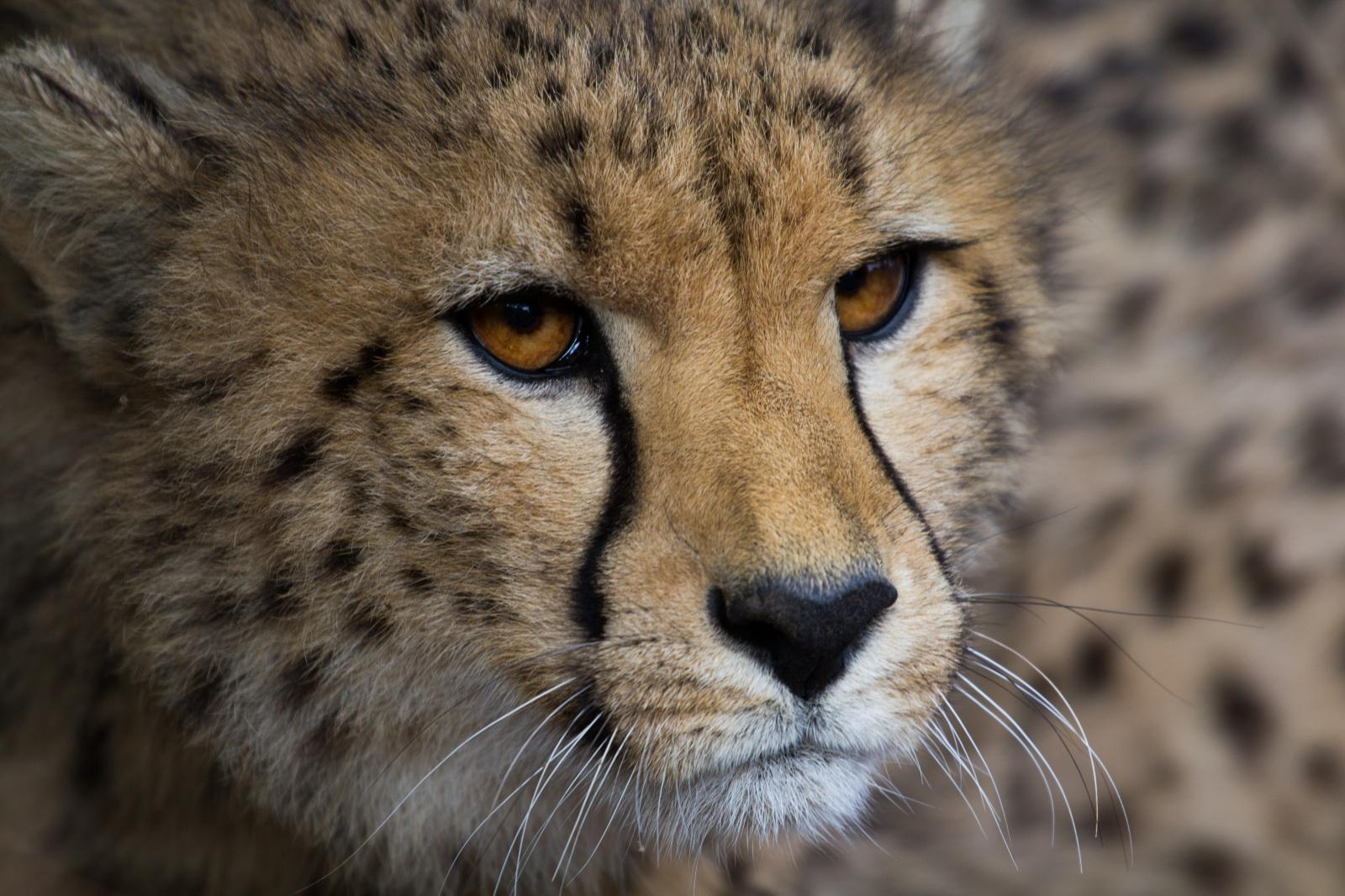 Cheetah cub who is being raised without a mother watches their sibling as they are being fed. Taken on Mount Camdeboo in South Africa.