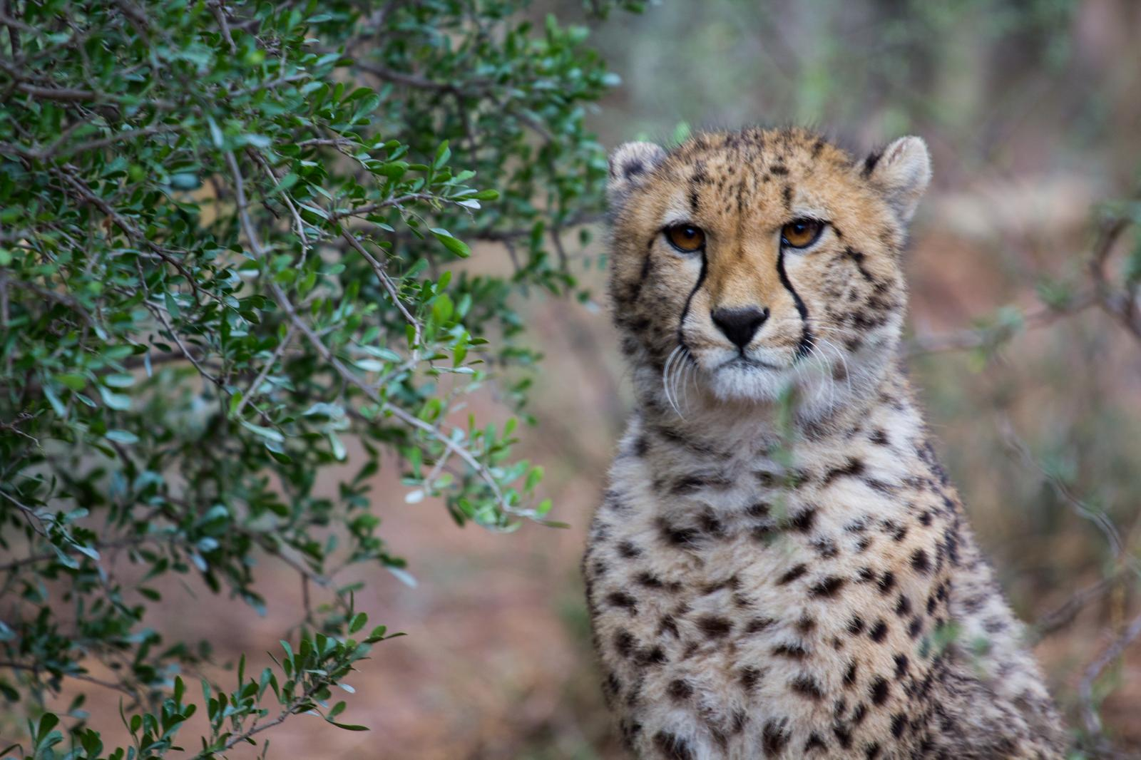 Cheetah cub on Mount Camdeboo's wildlife reserve located in South Africa.