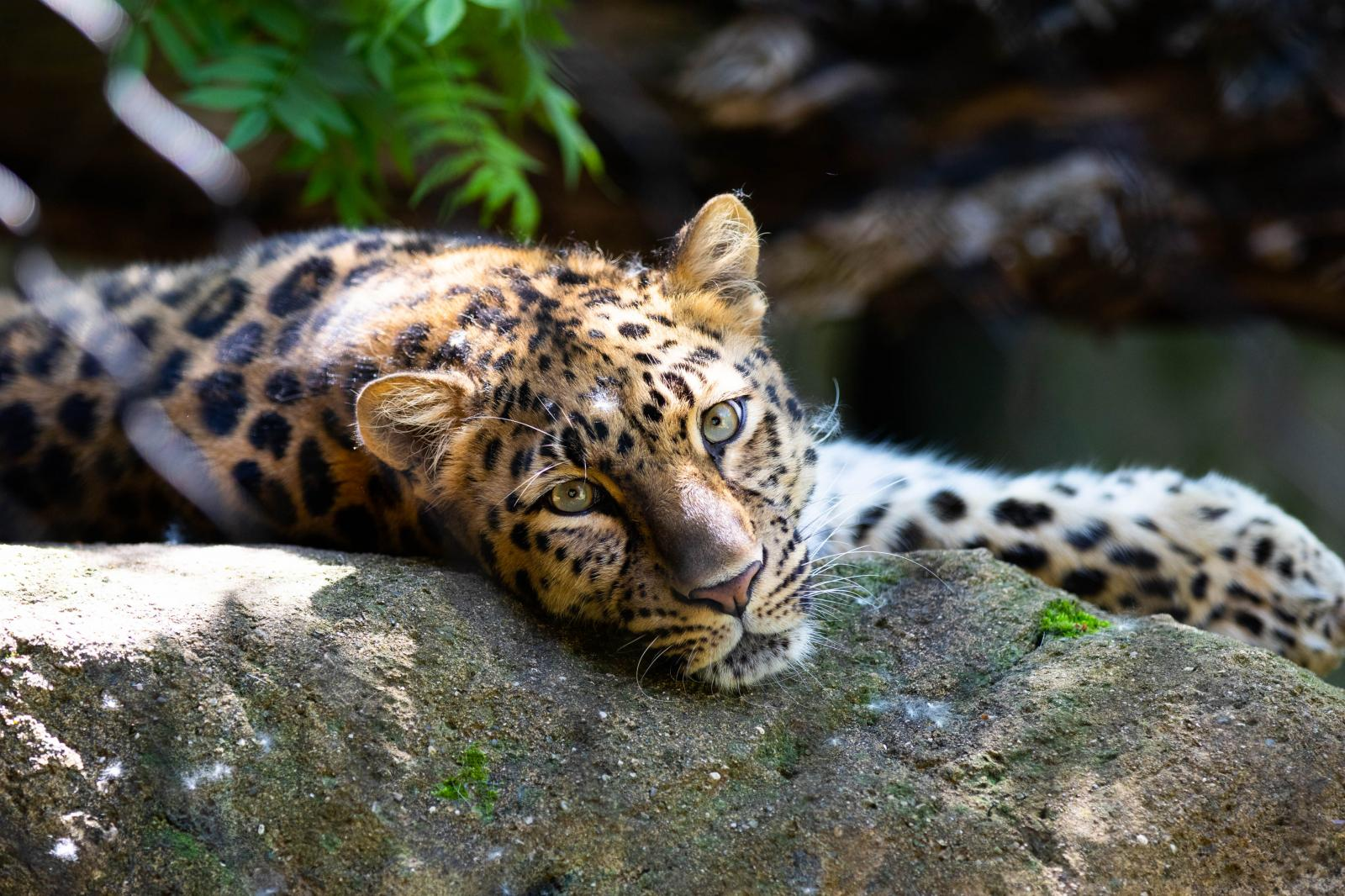 Amur Leopard lounges on a hot afternoon at the Minnesota Zoo.