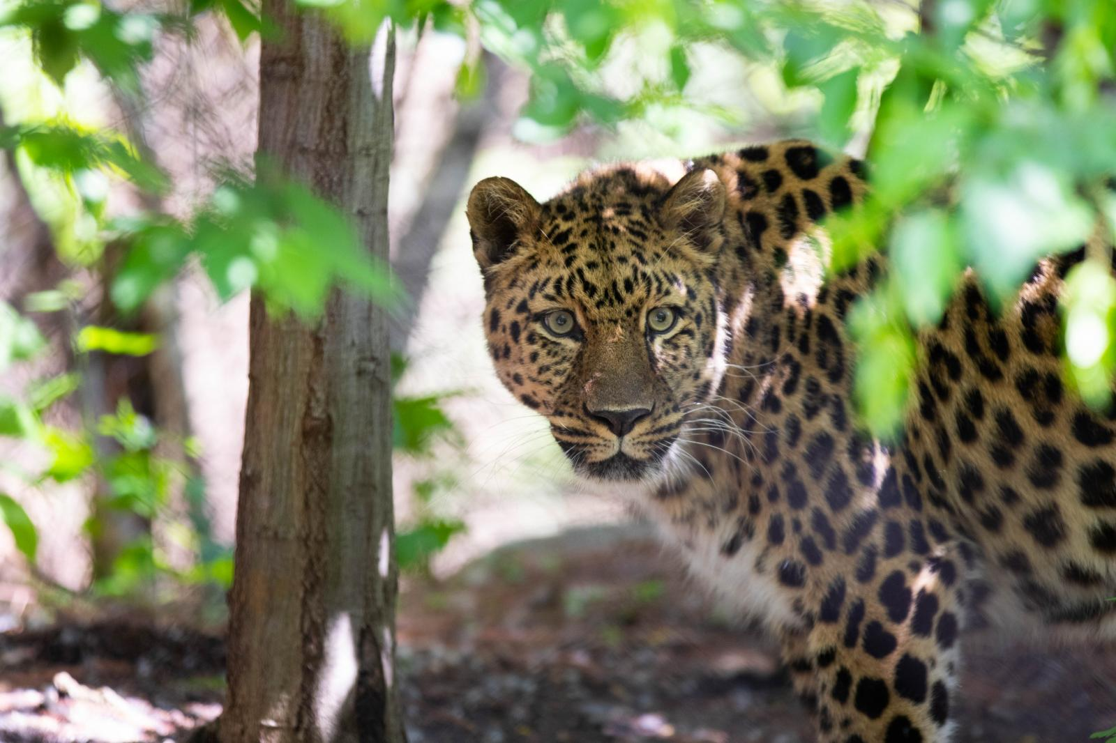 Amur Leopard in the Minnesota Zoo. Only 30 Amur leopards remain in the wild. This species is very endangered.
