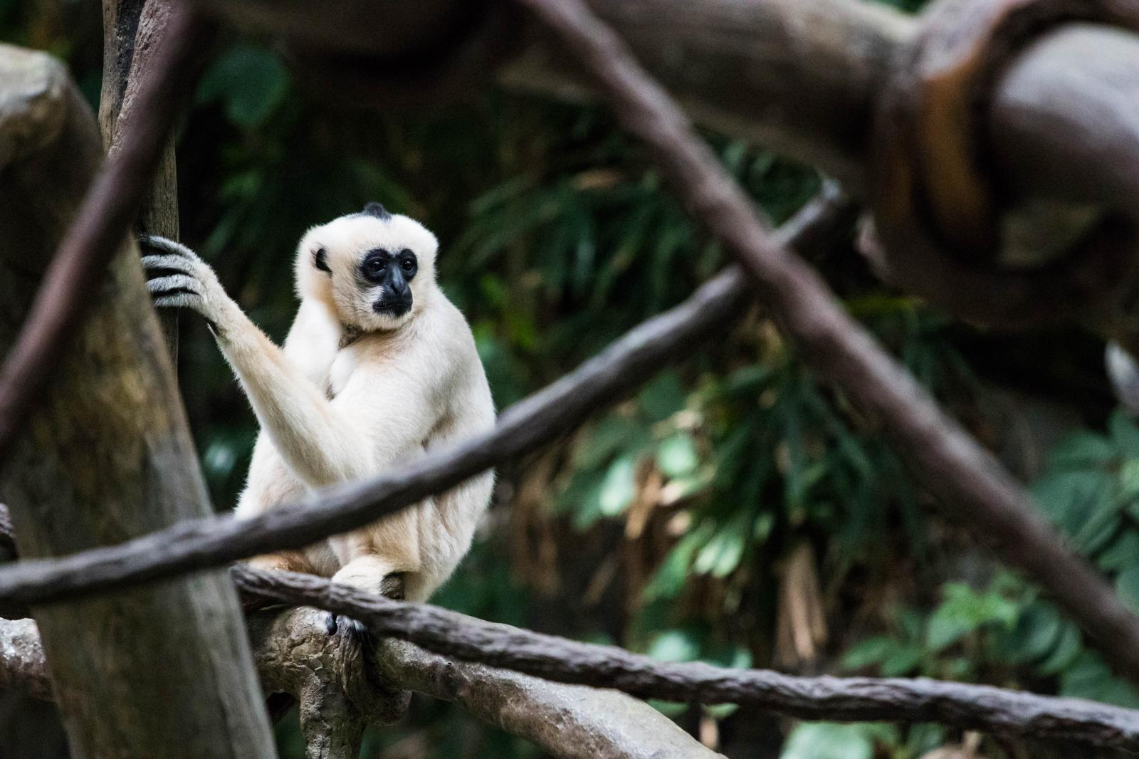 Female white-cheeked gibbon located in the Minnesota Zoo.