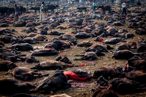 A Bloodbath in the Name of Gadhimai