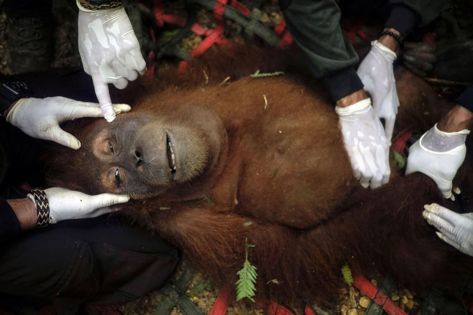 Photography image - Loading Saving_Orangutans_01.JPG