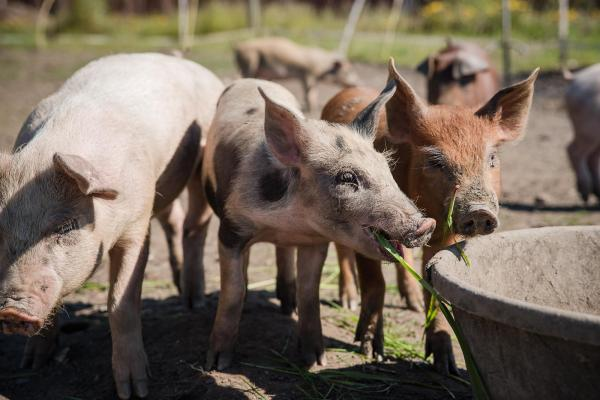 Snout to Table: Growing a pig in Interior Alaska