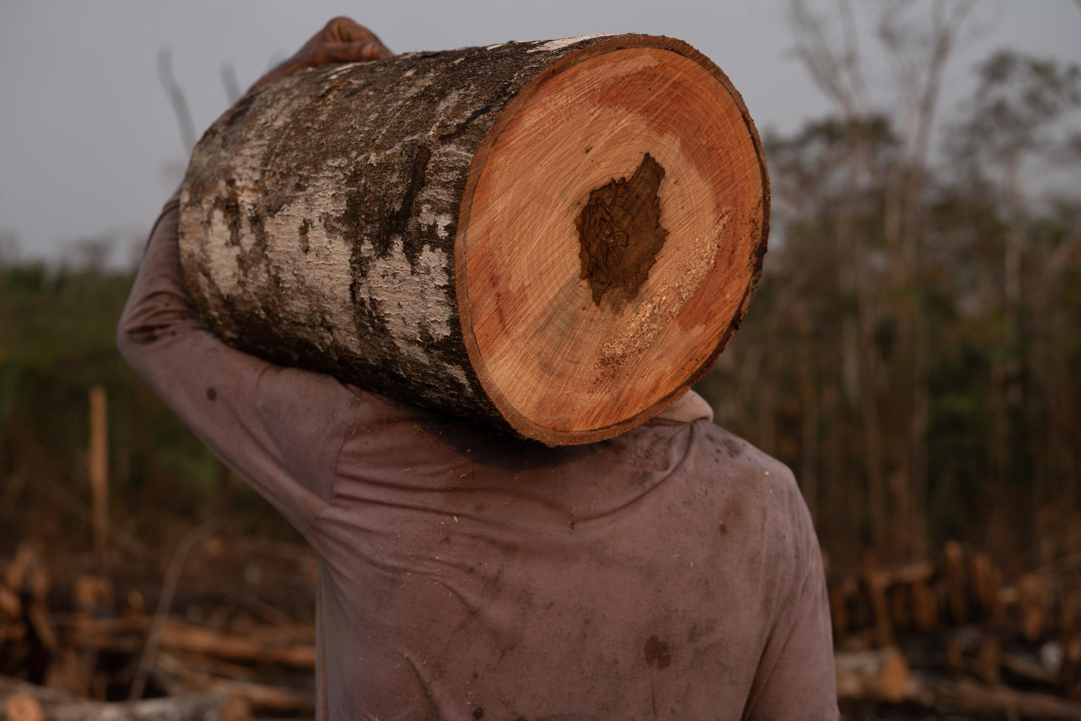 After the fires, people take advantage of the harvesting of the firewood near their homes in Bujari, Acre.