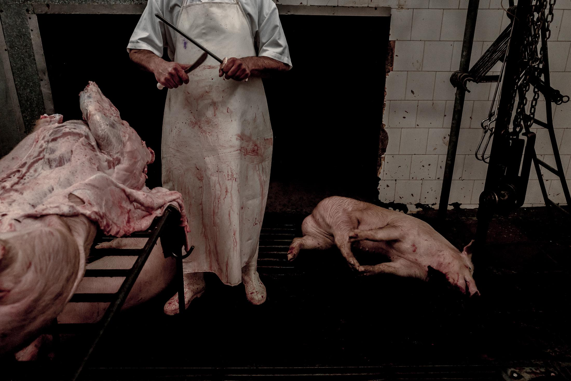 A butcher concludes the slaughter of one more pig. Food security is a major concern on the issue of climate change and the quest for products with lower global warming potential (GWP) is one of the greatest challenges for humanity. Studies show that pork has half the GWP of an ox.