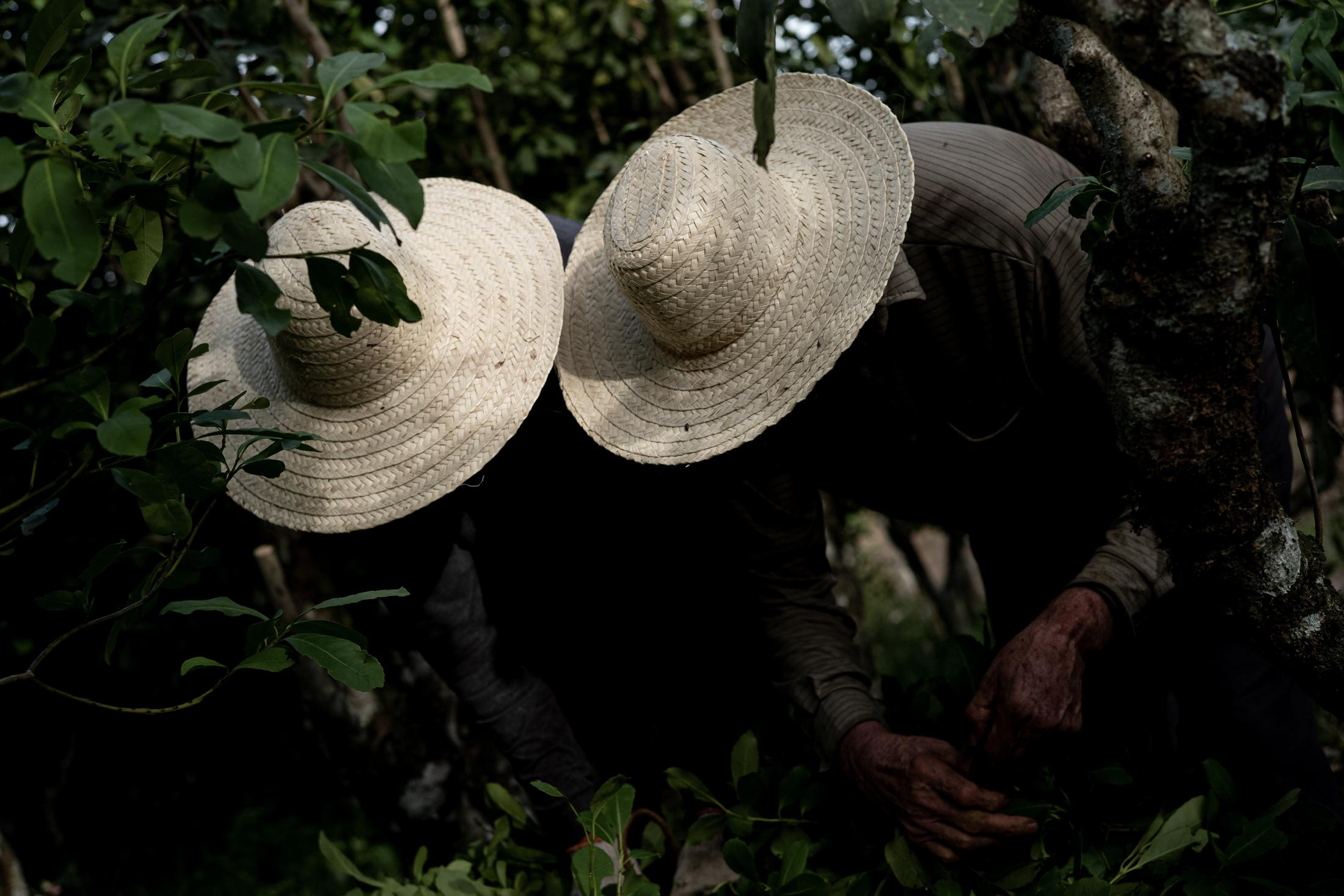 Farmer Nelson Gaspareto Damo and your son Douglas Meazza Damo, picks yerba mate leaves on his property. Yerba mate consumption is an icon in the culture of the southernmost peoples of Latin America. Especially southern Brazil (Paraná and Rio Grande do Sul), Argentina and Uruguay.