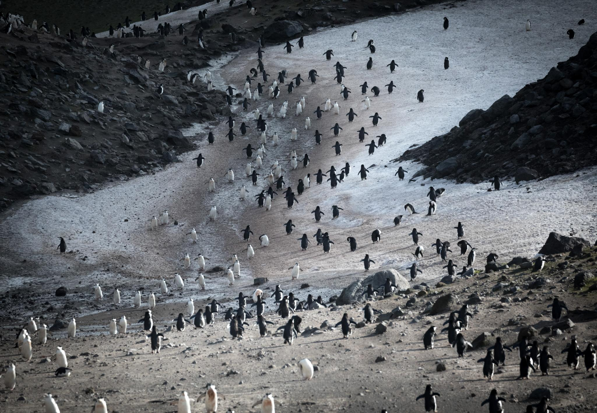 "Chinstrap penguins, on their way to and from the ocean to feed, form a ""penguin superhighway"" of traffic to and from their nests at the amphitheater of Baily Head."