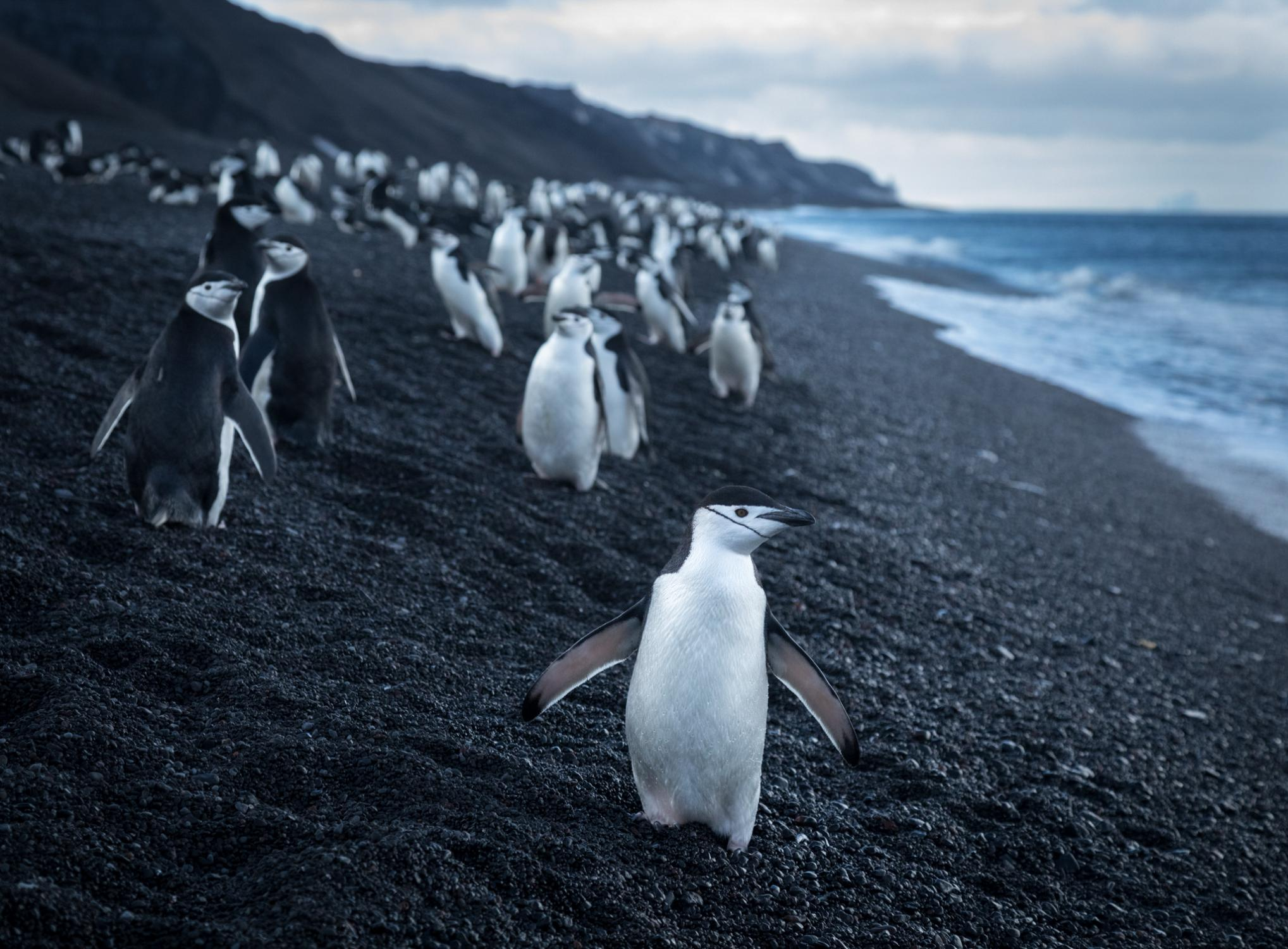 Chinstrap penguins on the volcanic beach at Baily Head, on the southeast corner of Deception Island - a natural amphitheater with Antarctica's largest colony of chinstrap penguins, estimated at 100,000 breeding pairs.
