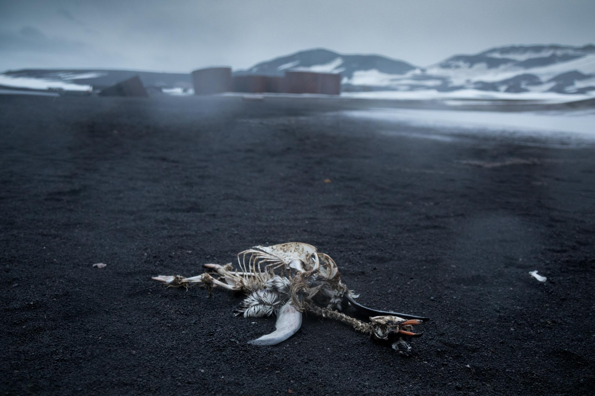 At Whaler's Bay in the Deception Island caldera, the remains of a gentoo penguin lies on the black sand beach. In the background are the remains of the Hektor Whaling Station, and the massive tanks once used to store whale oil and fuel.