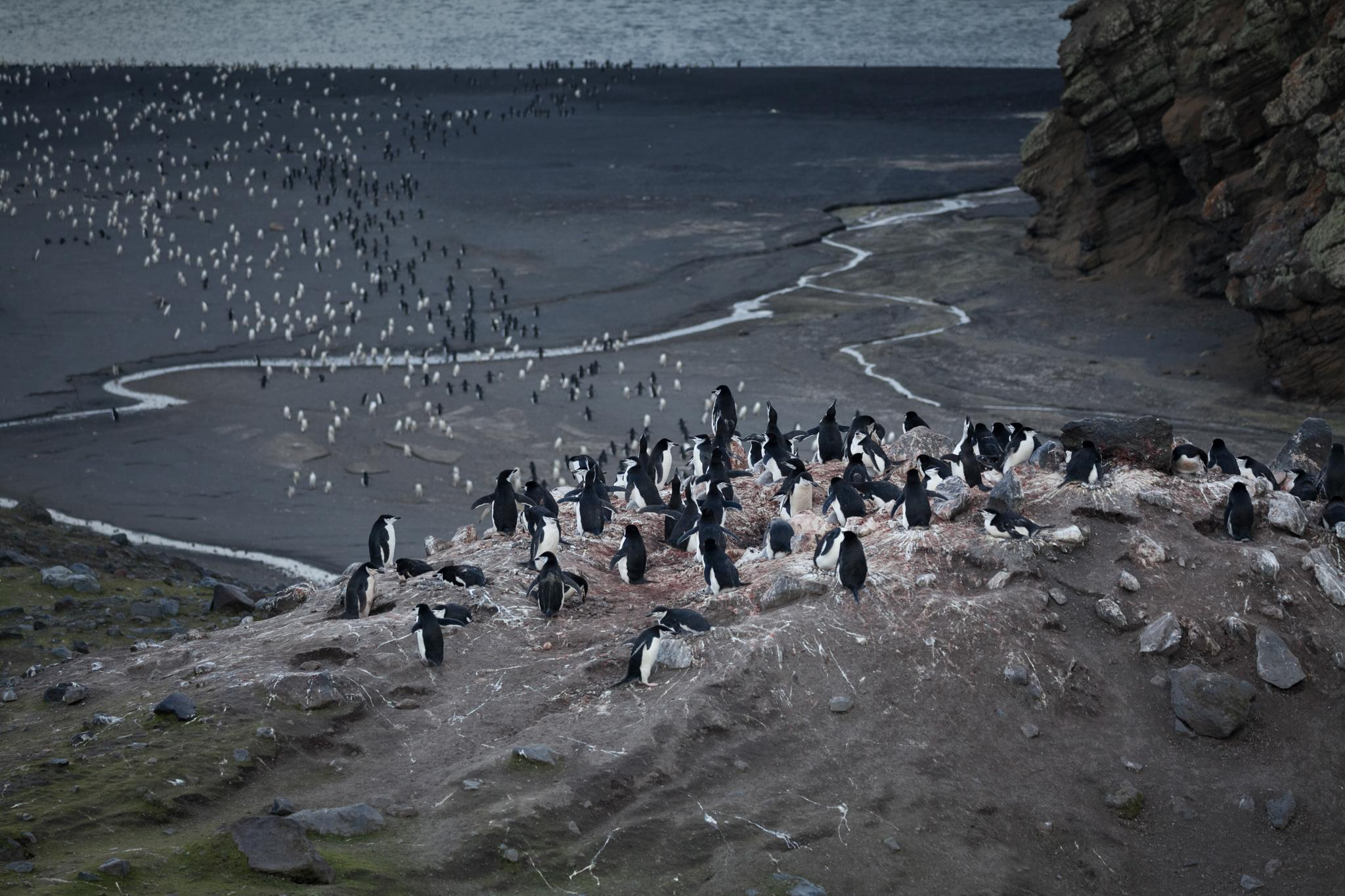 Chinstrap penguins at Baily Head, on the southeast corner of Deception Island - a natural amphitheater with Antarctica's largest colony of chinstrap penguins, estimated at 100,000 breeding pairs.