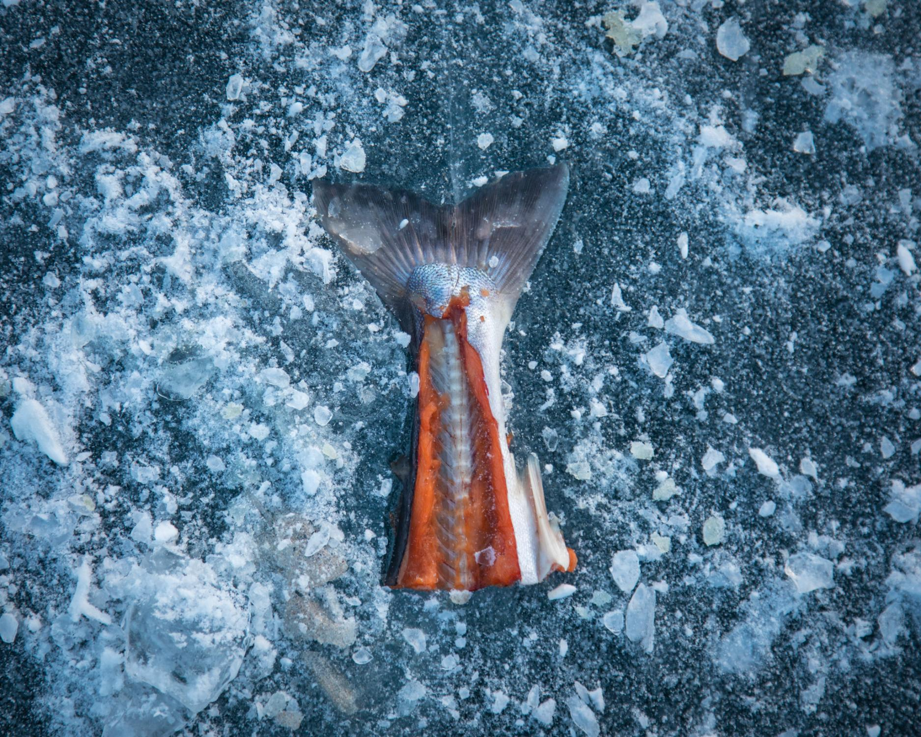 The tail of an arctic char near an ice fishing hole at Kuugarjuk Lake. Every year the community camps together at nearby lakes over a three-day weekend in May to catch arctic char. Cash prizes are awarded for the largest fish.