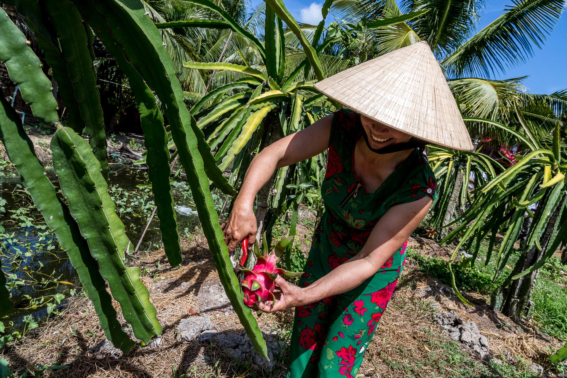 TRA VINH PROVINCE, VIETNAM - DECEMBER 01, 2015: Nguyen Thi Tang (47) cuts dragon fruits from a dragon fruit plant in a field where the family grows fruit outside their home on December 01, 2015 in Phu Hung 1 Village, Tra Vinh Province, Vietnam. Photo: © Omar Havana for Heifer International