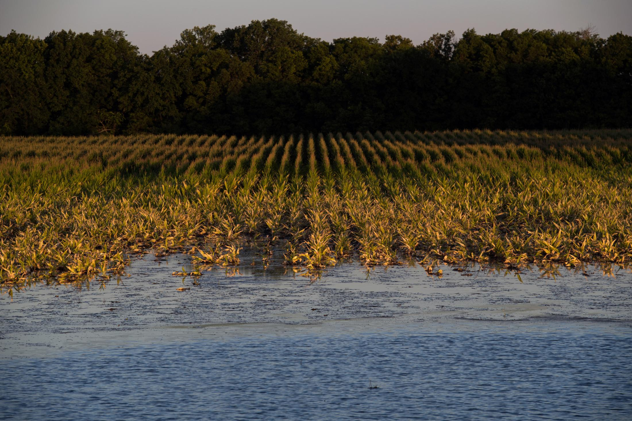 A crop of corn is engulfed by backwater flooding in Sharkey County, Mississippi June 14, 2019.
