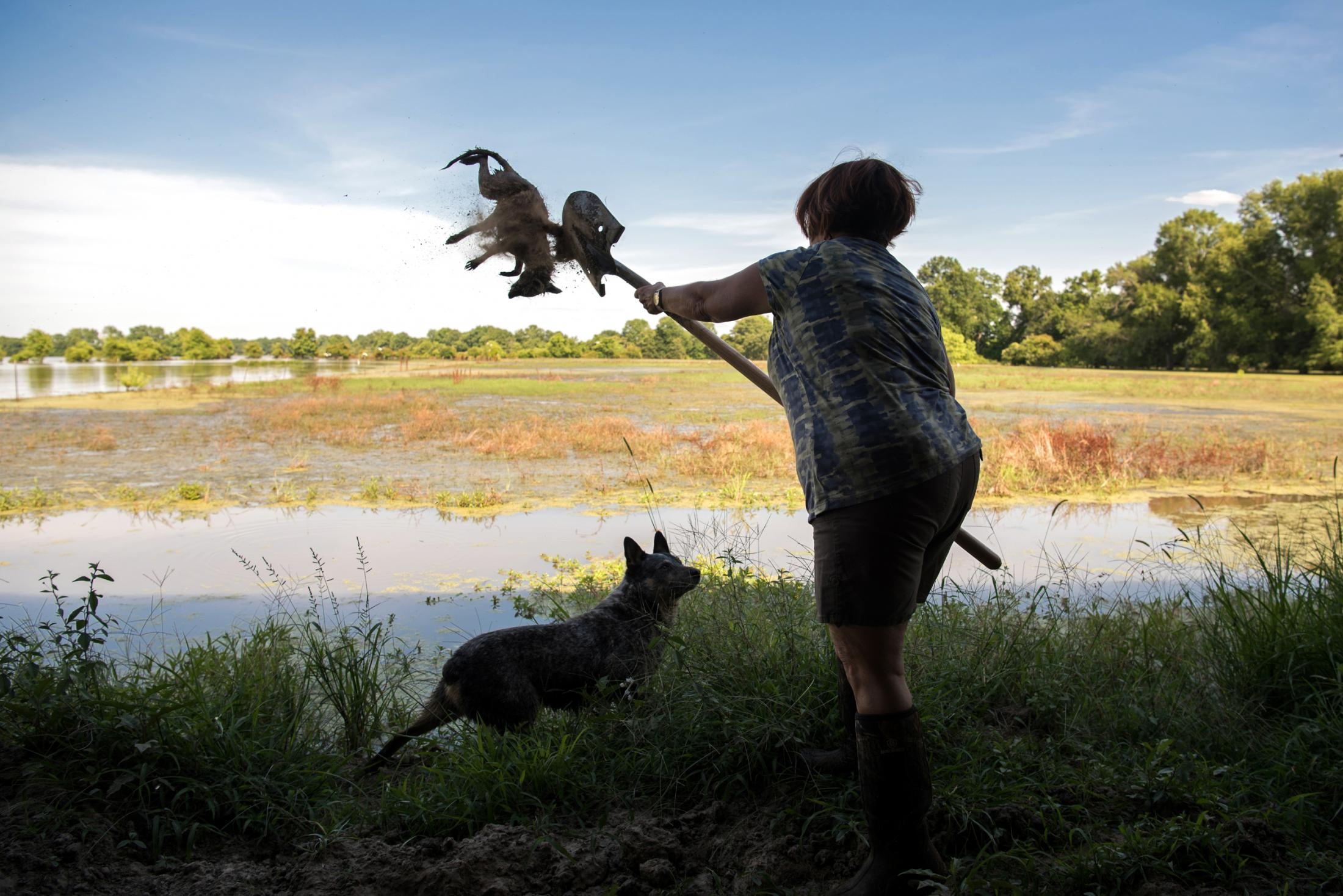 Brenda Browning tosses a dead raccoon into the floodwaters in Valley Park, Mississippi June 14, 2019. Browning found the raccoon inside the levee built around her parent's home.