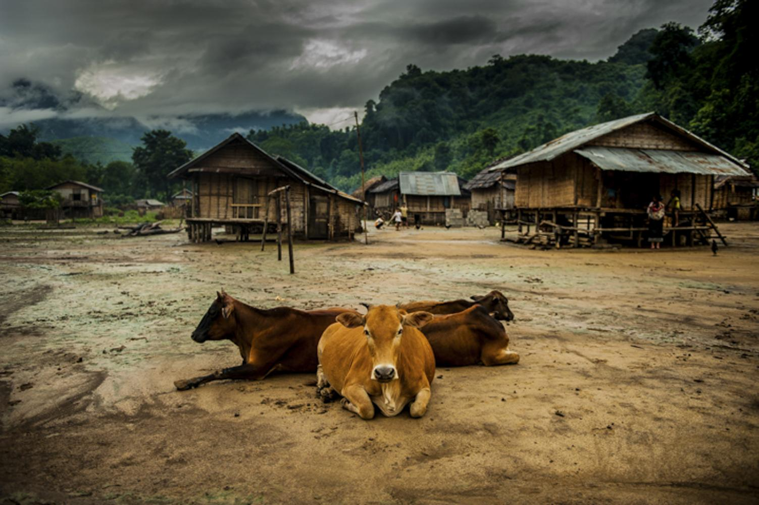 Cows surround the entrance of a small rice farming village in Laos.