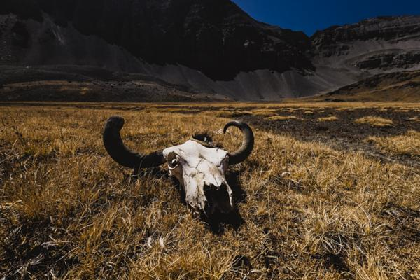 A yak skull remains in the parched mountains near the border of Tibet.