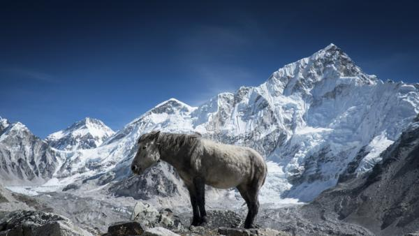 A Nepali pony suns himself in front of the Khumbu ice fall which flows off the flanks of Mount Everest in Gorekshep Nepal.