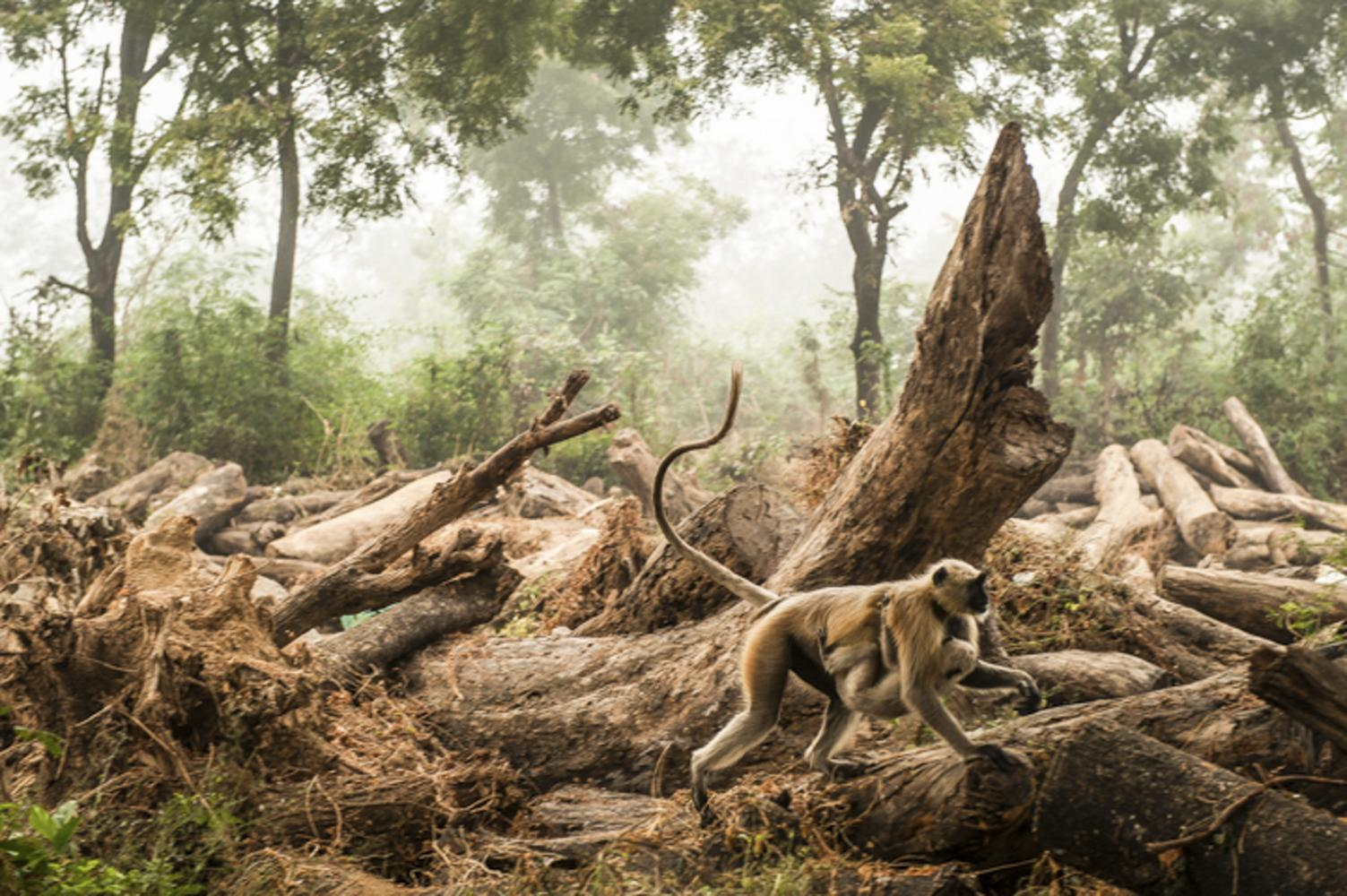 A mother monkey runs with her baby in a Jungle near Chitrakoot, India.