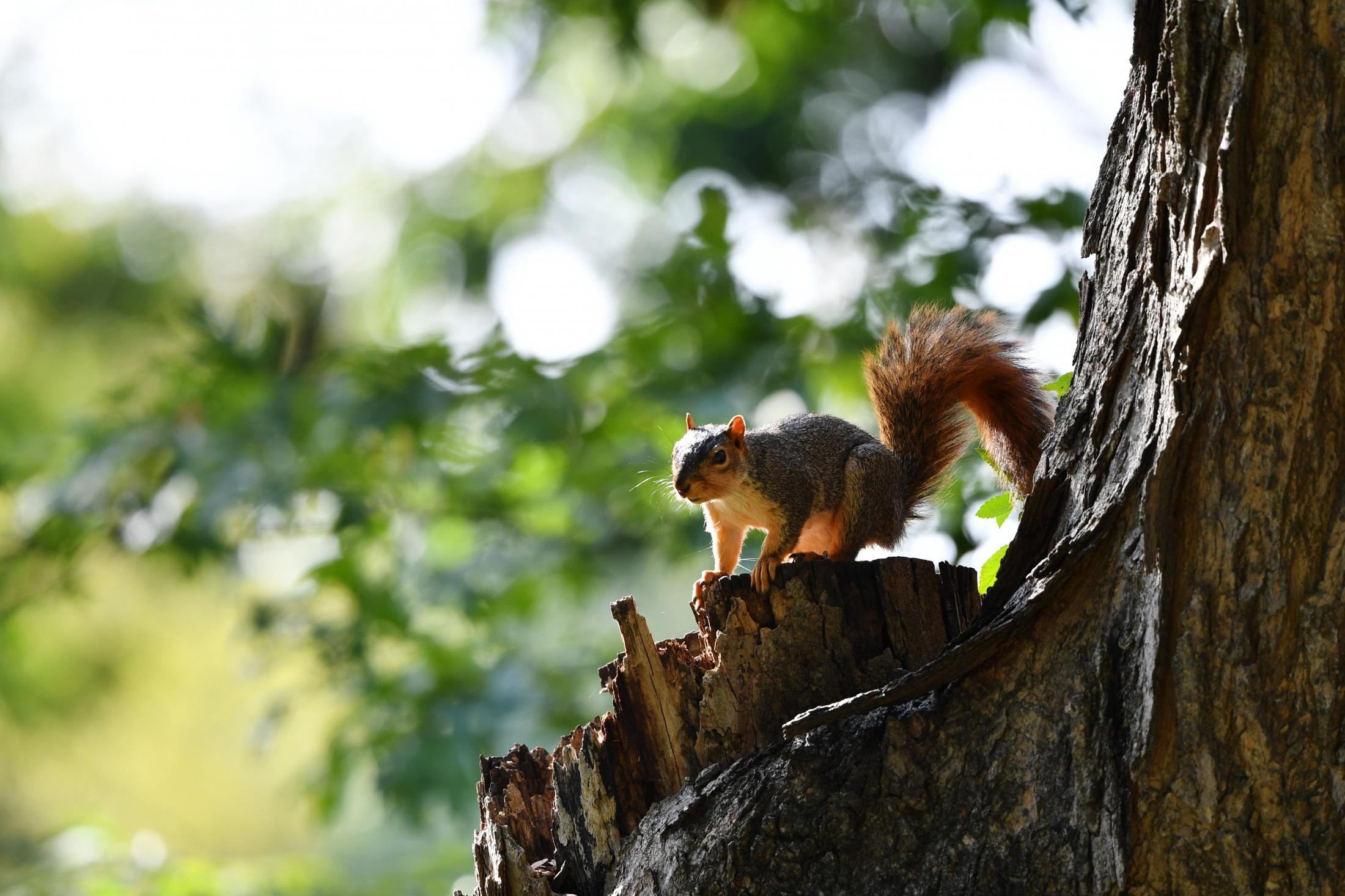A squirrel perches in a tree Sept. 26, 2019 in Boonville, Mo.