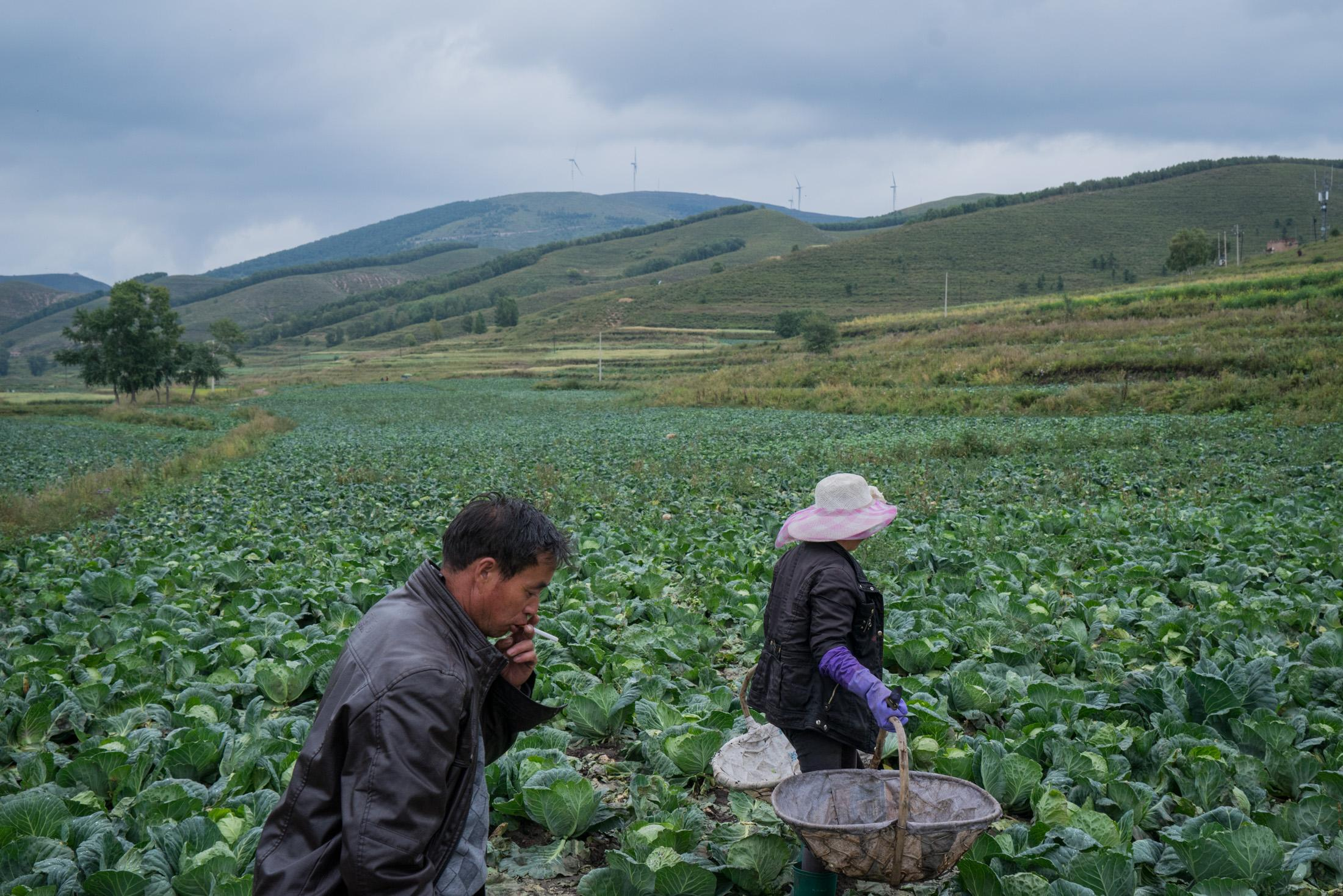 Chen Lanzhen, a villager of Taizicheng, goes into the field to harvest cabbage with the help of her brother Chen Hu on September 8, 2015. It was the last year of harvest for Taizicheng villagers before it was demolished to make way for venue constructions for the 2022 Winter Olympics.