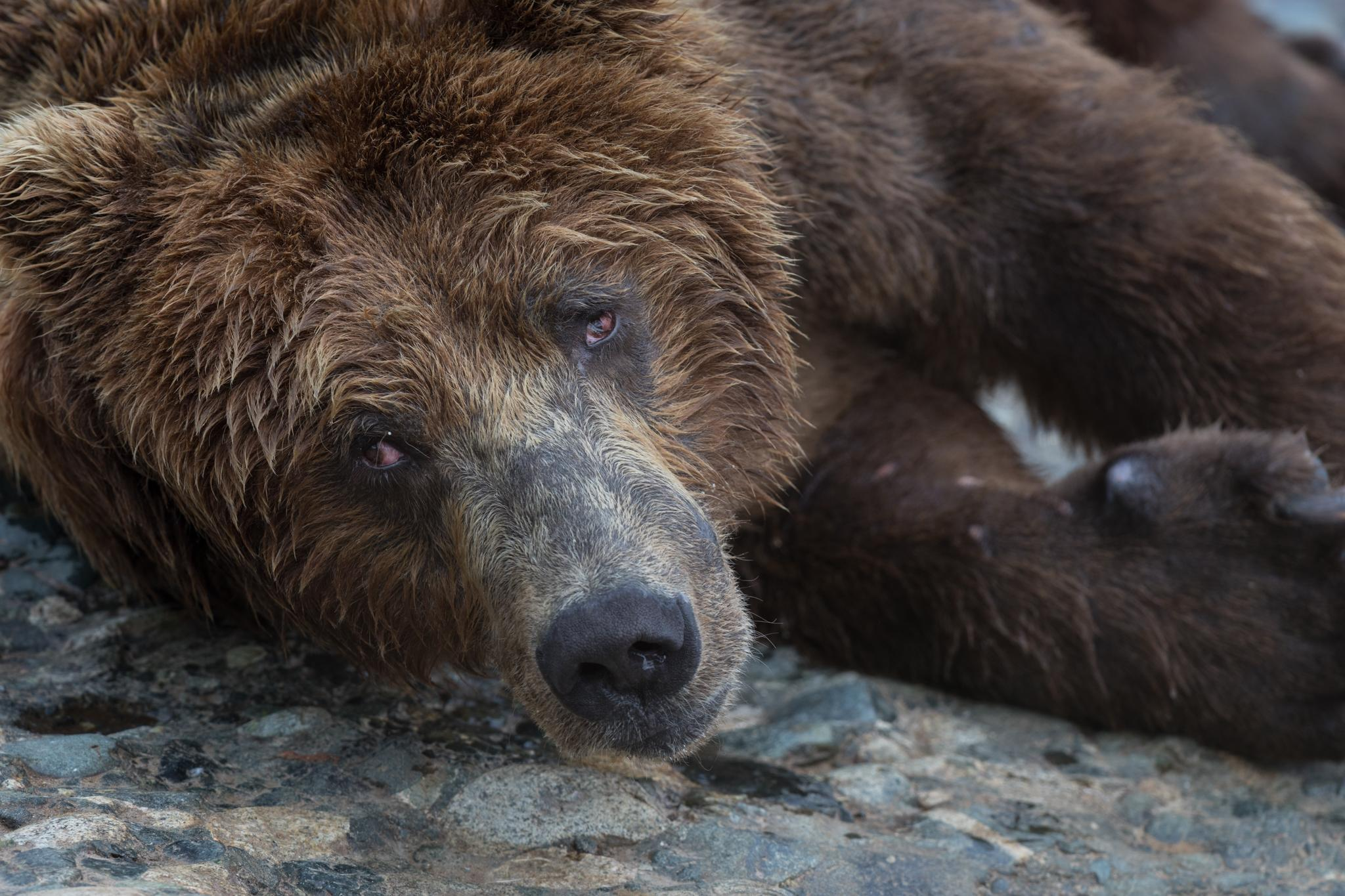 A large male called Rocky rests at McNeil Falls. Bear advocates are concerned that the proposed Pebble Mine would not only hurt the world-class salmon habitat that feeds the bears but also irrevocably alter the animals' peaceful relationships with humans.
