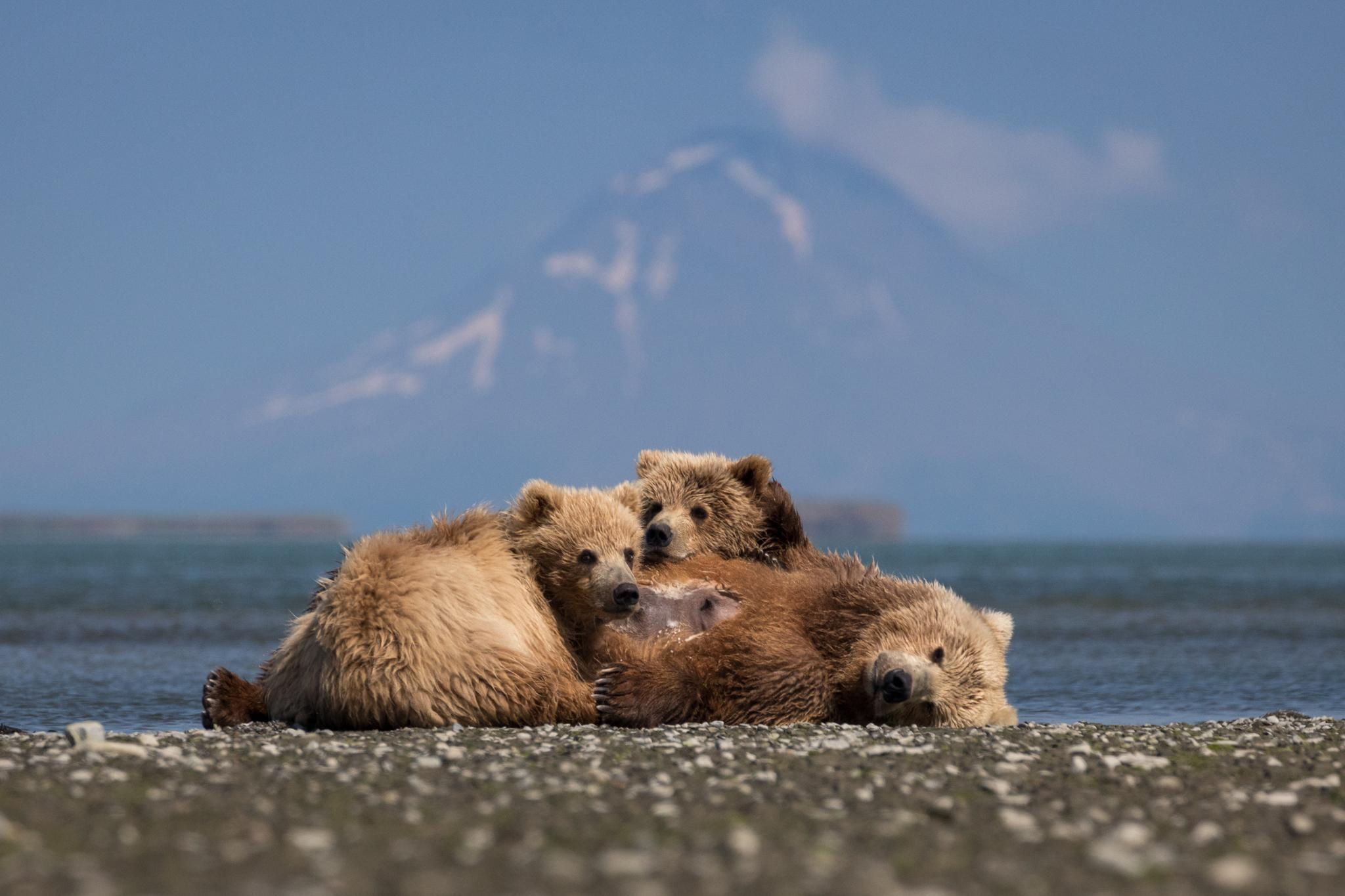 A female known as T Bear nurses her year-old cubs in the tidal flats of McNeil River State Game Sanctuary and Refuge. Augustine Volcano, which last erupted in 2006, is in the background. Bear advocates worry a proposed mine corridor to the north could negatively affect the animals.