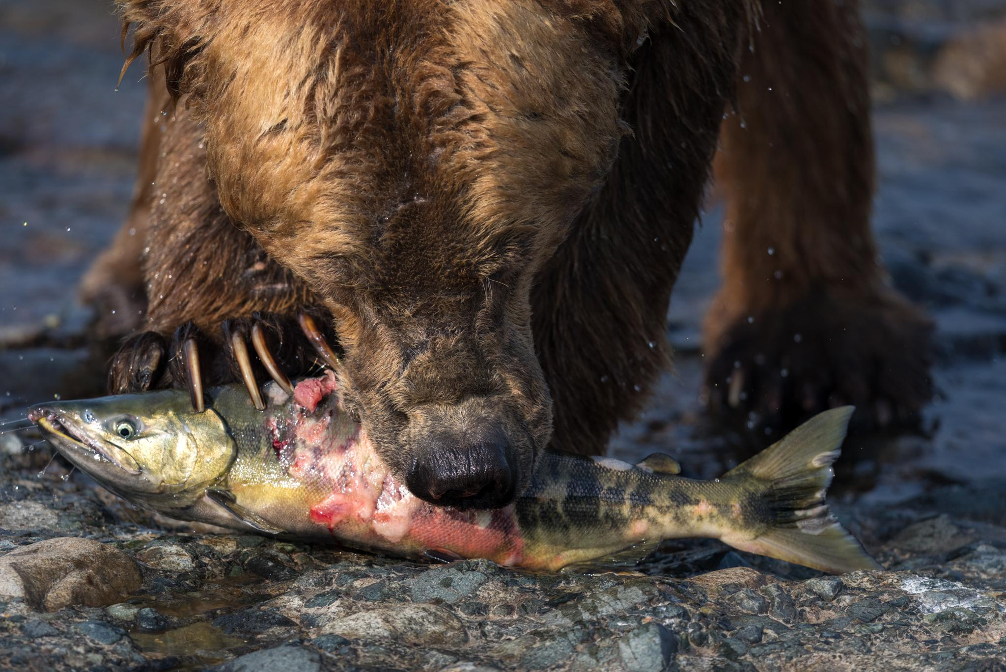 A brown bear eats a salmon at McNeil Falls. The establishment of a successful bear-viewing camp here has challenged the belief that brown bears are always dangerous to humans.