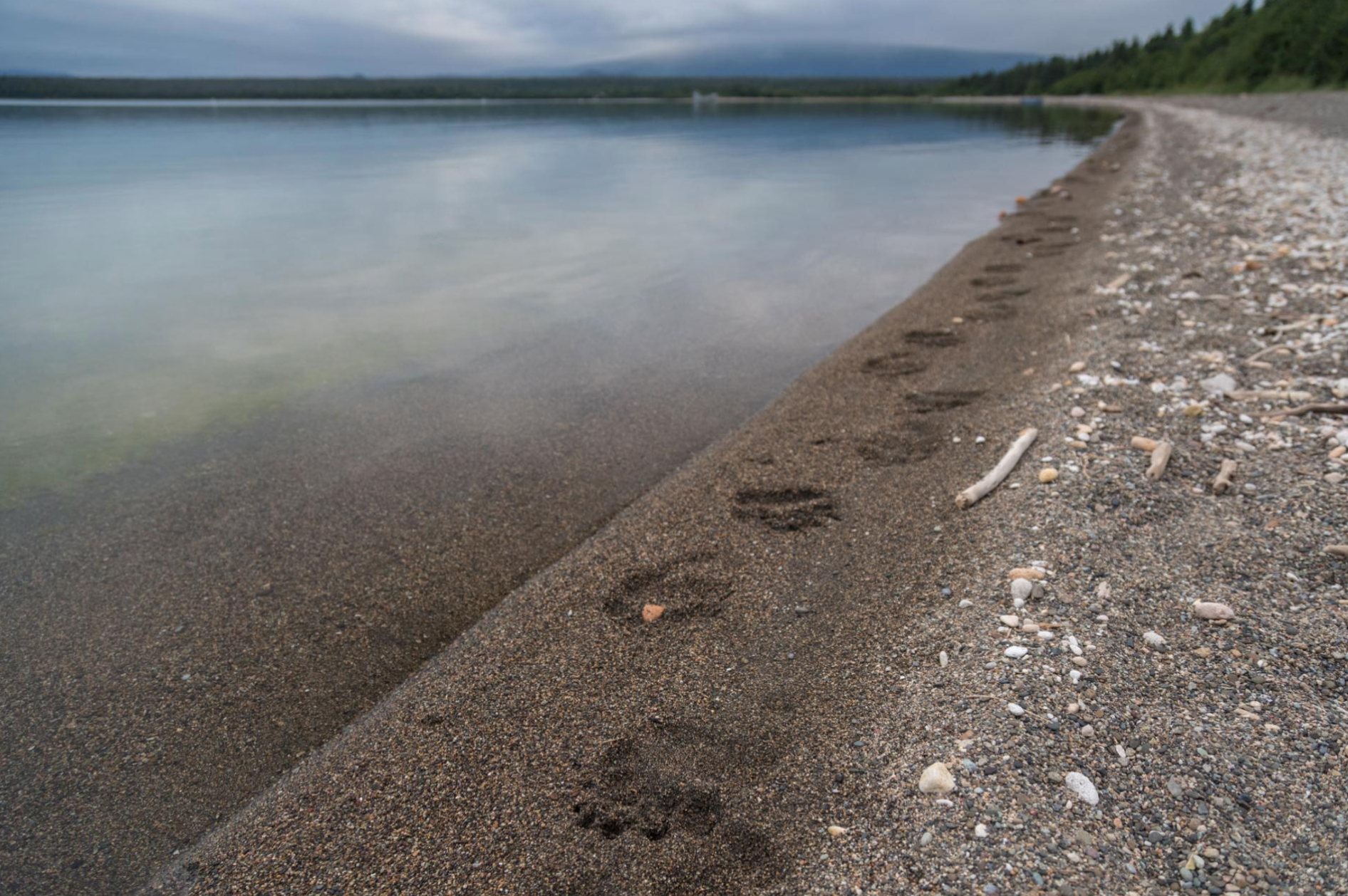 Brown bear tracks dot the beach of Naknek Lake, at Brooks Camp. The spot has become increasingly popular thanks to a live webcam on Explore.org, which millions around the world watch every year.