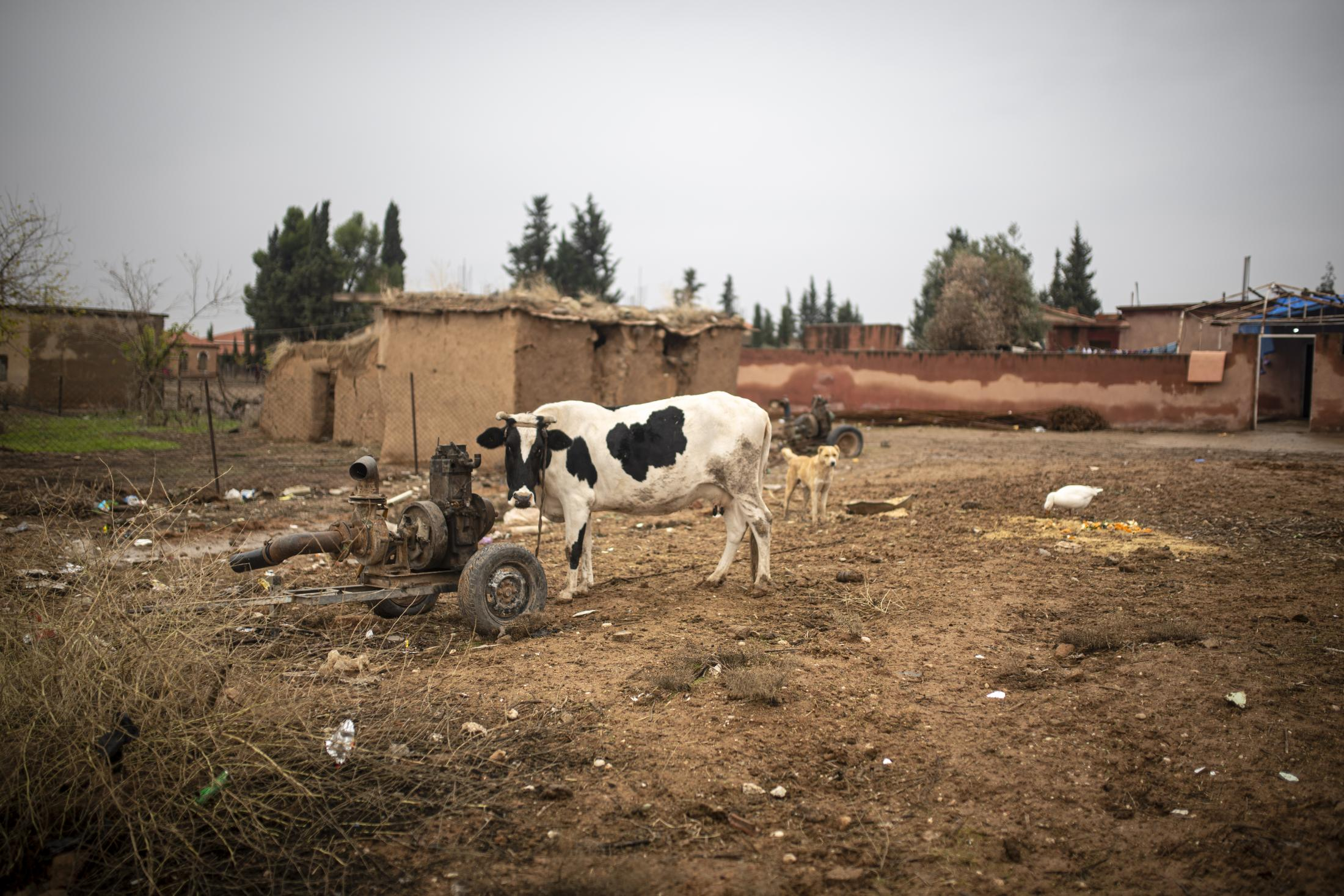 A cow. After the withdrawal of US troops from northern Syria in October 2019, Turkey launched an offensive against the predominantly Kurdish areas in the northeast of the country along Islamist forces. Calls for war crimes investigations into the conduct of Ankara-backed militias are mounting ever since. (Andoni Lubaki / Euskal Fondoa)