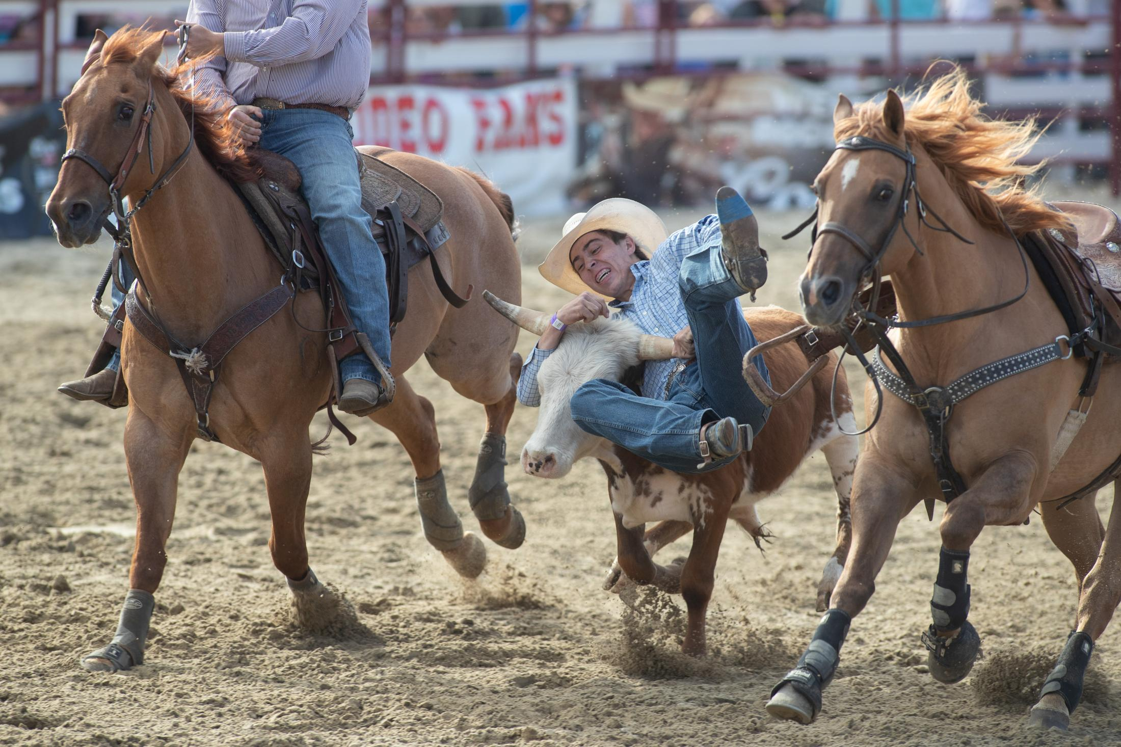 Colton Swearingen from Pifford, New York jumps off of his house to take down a steer during the steer wrestling competition as part of the PRCA rodeo at the Goshen Stampede on June 15, 2019.