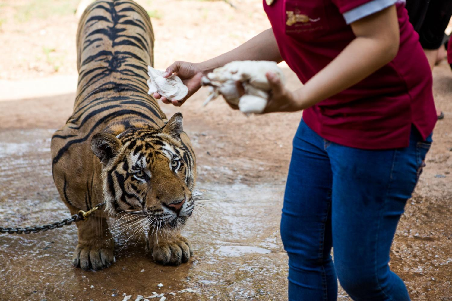 A tiger is fed cooked chicken in Kanchanaburi, Thailand