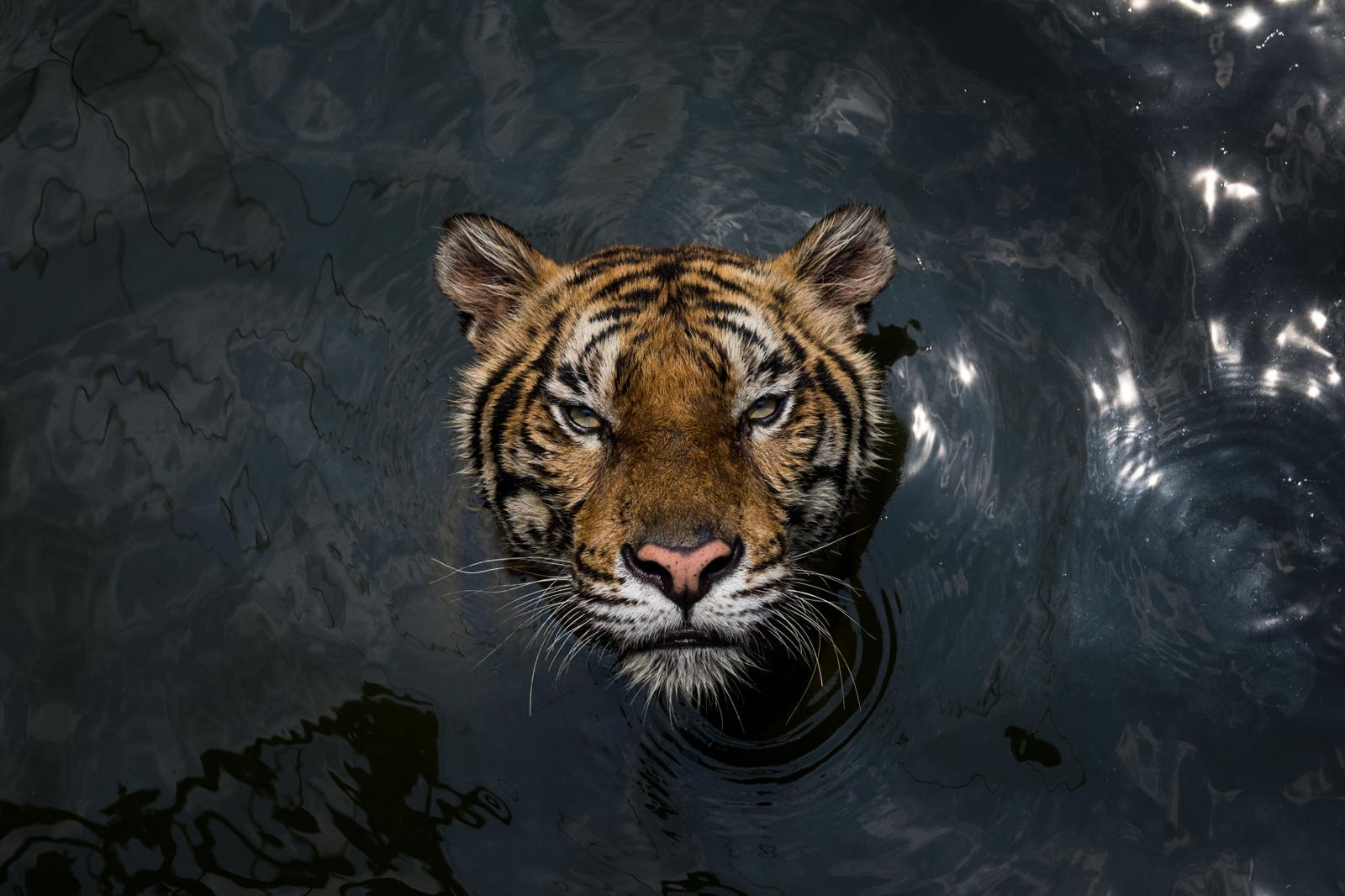 Sriracha, Thailand � September 29, 2018 : A tiger swims in an enclosure at the Samut Prakan Crocodile Farm and Zoo. Credit: Amanda Mustard for New York Times