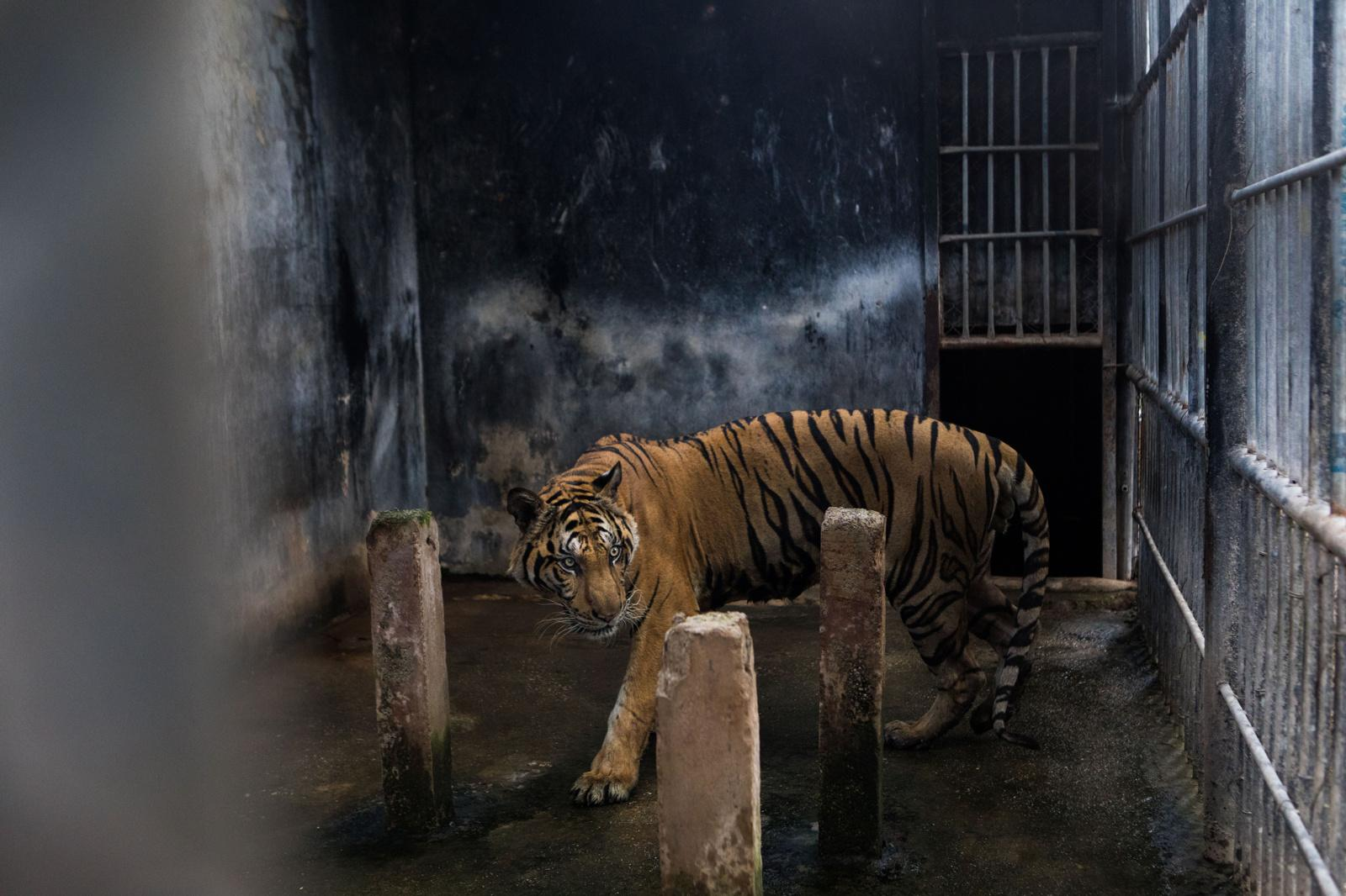 Ratchaburi, Thailand � September 20, 2019 : One of the two tigers permitted for reporters to see during a press event at the DNP Wildlife Reproduction Centre in Khao Pratab Chang. In June 2016, Thailand's Department of National Parks, Wildlife and Plant Conservation (DNP) confiscated 147 tigers from the infamous Tiger Temple. Since then, 86 of the tigers have died in the government's care. Credit: Amanda Mustard for New York Times