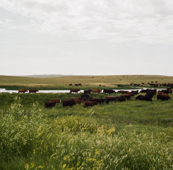 A herd of cows near the North Dakota-Montana state border. Some farmers and ranchers who own land where oil is being extracted have become wealthy, but the rapid growth of oil workers from outside of these often small communities has brought drugs and crime and the multi-billion dollar industry has led to a soaring number of spills, leaks, fires, and blowouts.