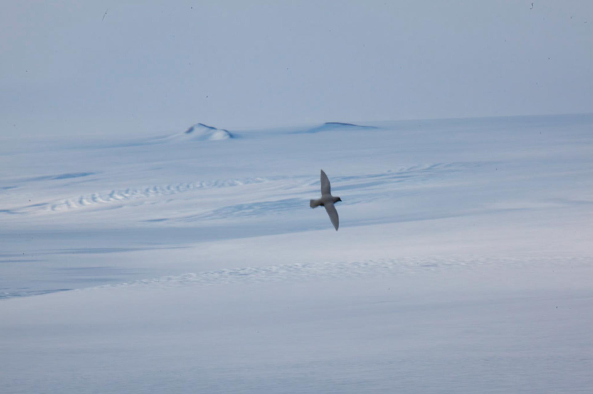 Snow petrel.