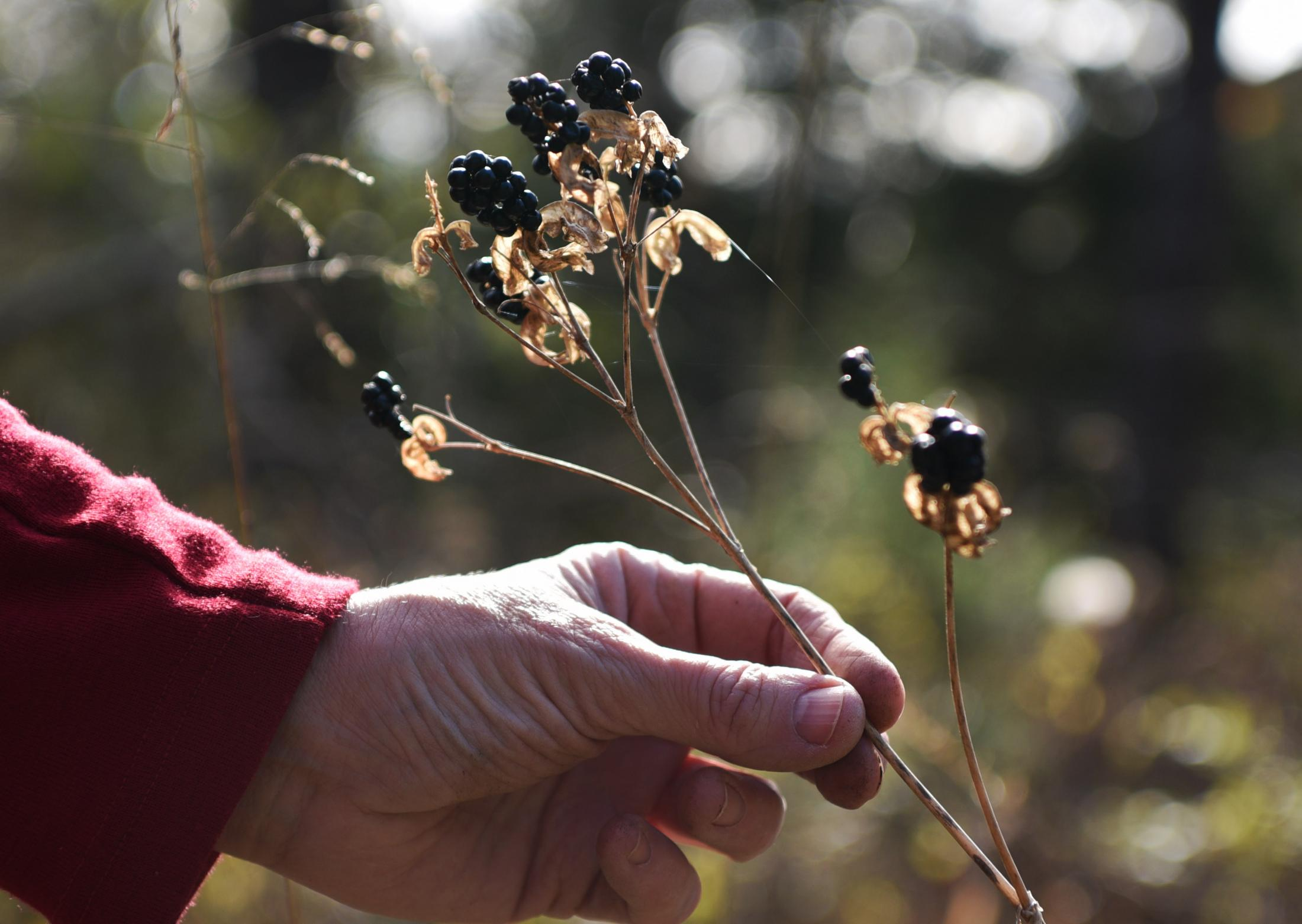 """Margaret Waddell picks a wild blackberry plant on her land at Crystal Lake on Nov. 3, 2019. """"Being out here reminds me of how connected everything is,"""" Waddell said. 'Ancient wisdom describes human beings as having five layers of experience: the environment, the physical body, the mind, the intuition, and our spirit. If we surround ourselves with a healthy environment, it has a positive impact on all other aspects of our existence."""""""