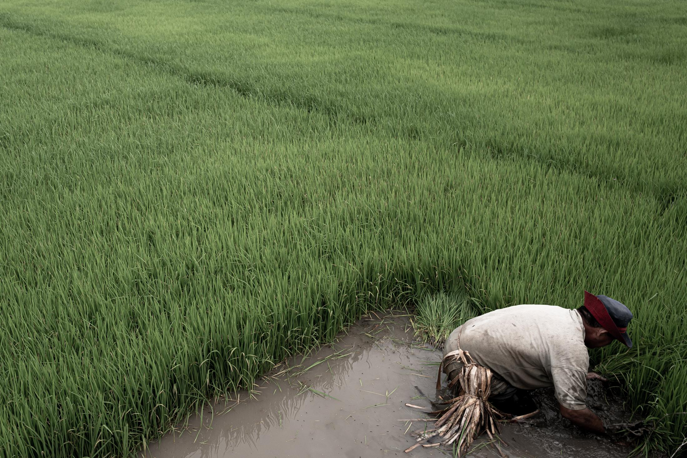 In Bagua, Amazonas, Peru - outside Wampís territory - a farmer harvests rice. Rice monoculture is very harmful to the environment, and its cultivation is a major emitter of CO2 and fuels the risk of climate change. The Wampis forbid monoculture in their territory. In order to live off the riches of the forest, in addition to hunting, each member of the community can grow up to five hectares in a free place of his choice throughout the territory. On a quick note, if all Wampis decided to grow bananas, cocoa or cassava, their main products, that would represent less than 6% of the territory.