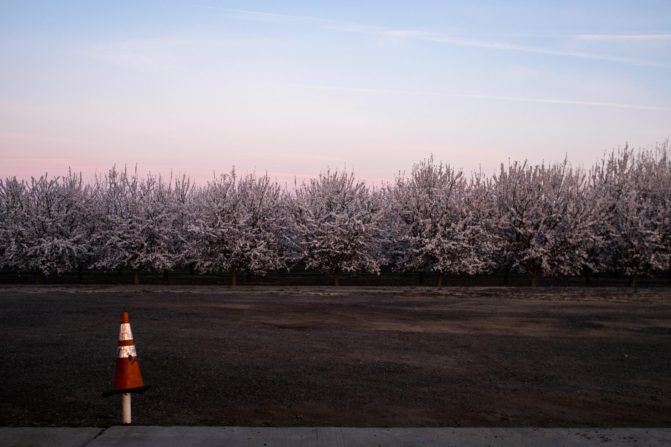 7. Almond tress at sunset. Central valley feb 2016